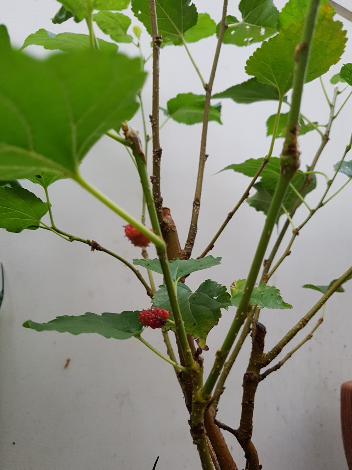 ต้นมัลเบอร์รี่