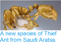 http://sciencythoughts.blogspot.co.uk/2014/04/a-new-species-of-thief-ant-from-saudi.html