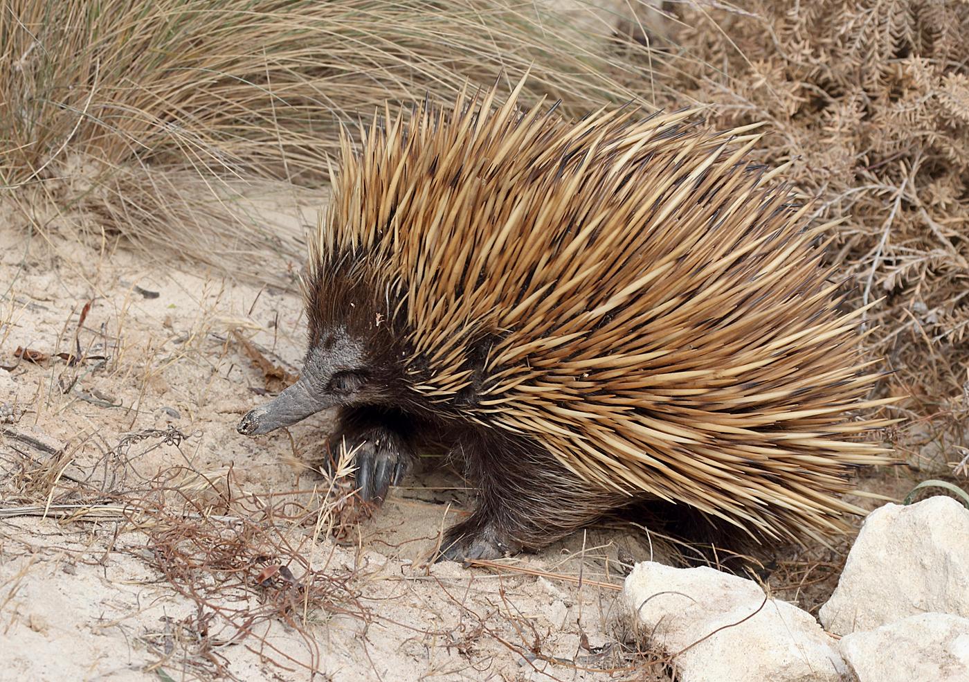 Echidna, Platypus and Mammals on Pinterest