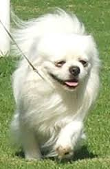 white Tibetan Spaniel Dog on walk