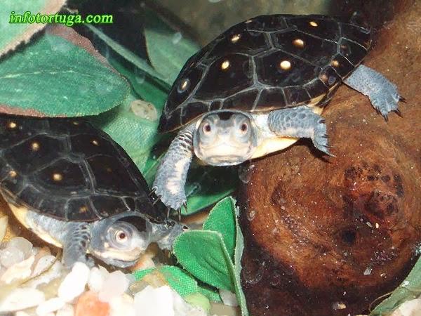 Clemmys guttata en su acuario