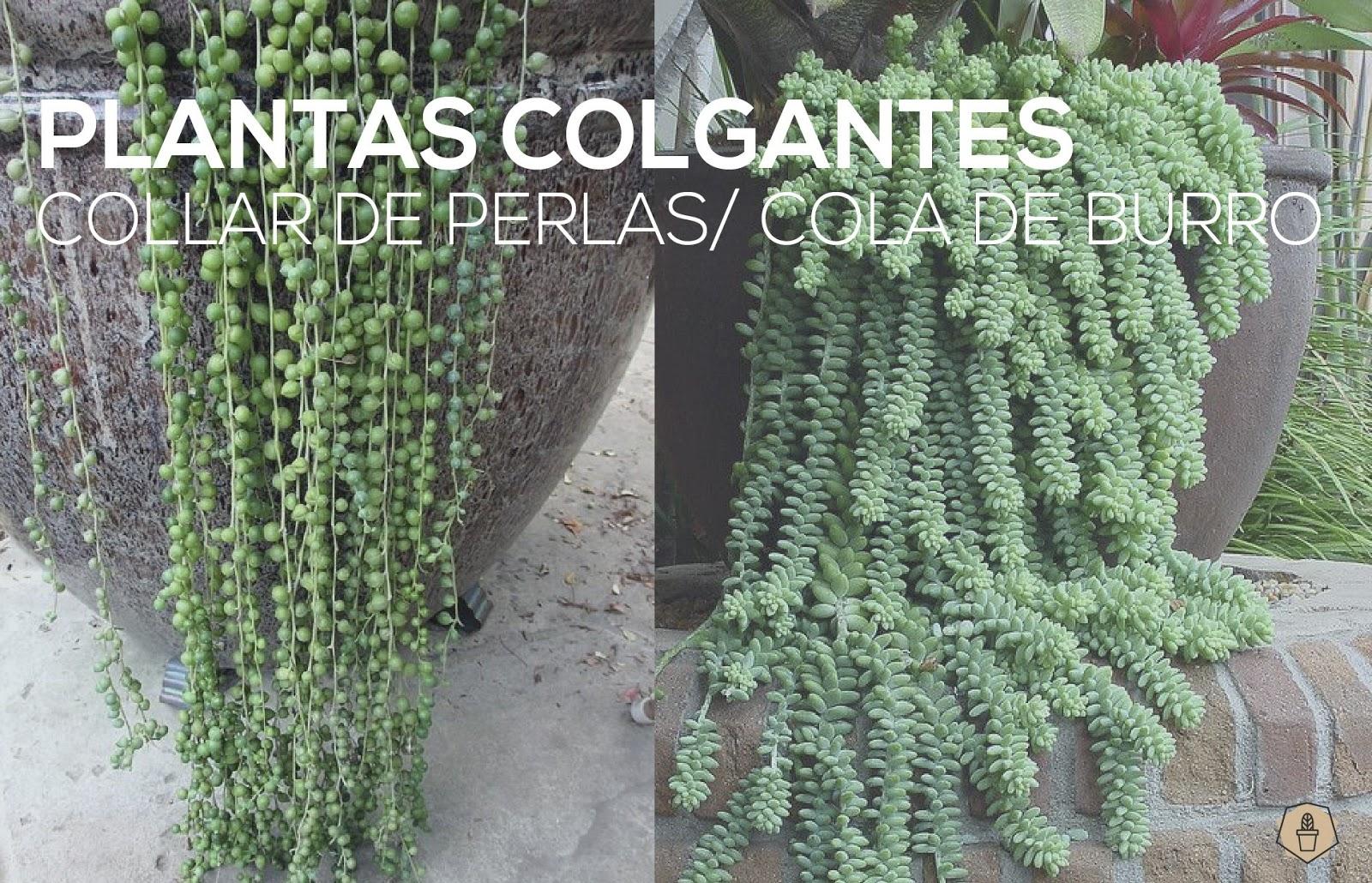 Plantas colgantes collar de perlas cola de burro saperes - Plantas colgantes ...