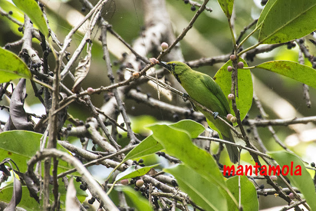 Lesser green leafbird