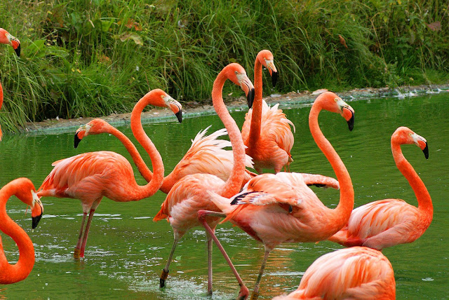Flamingo facts and information 5