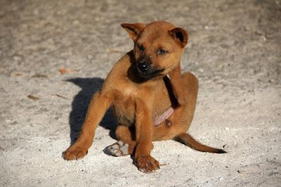 Dog Fleas:  Fido's Pesky Little Friends