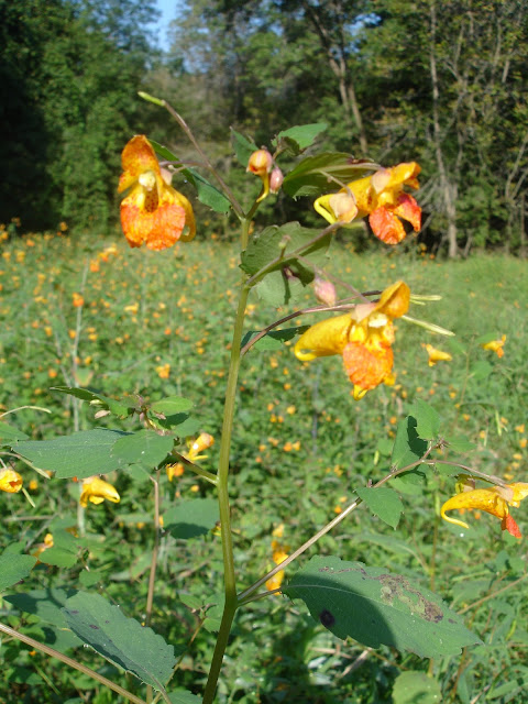 Jewelweed Wildflower Hummingbirds Wild Here