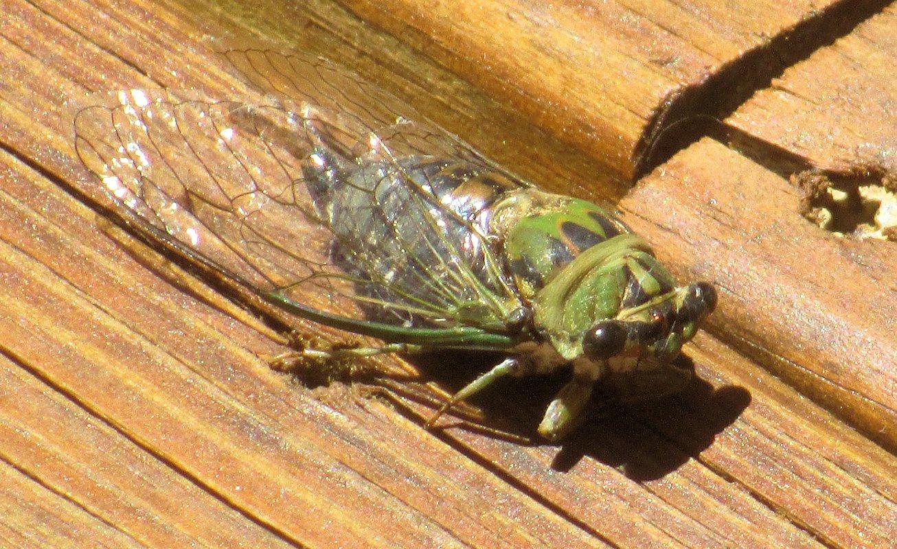 Tarot Notes: Listen to the Animals: Cicada