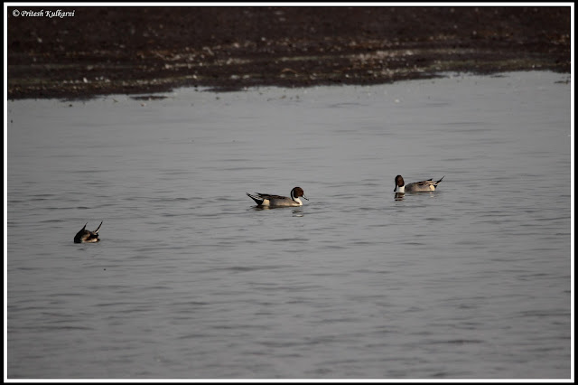 Northern pintail duck at Bhigwan