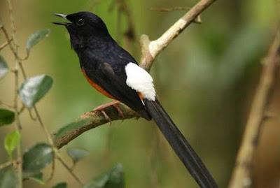 Tips Dan Cara Mudah Mengatasi Burung Murai Batu Over Birahi Paling Akurat