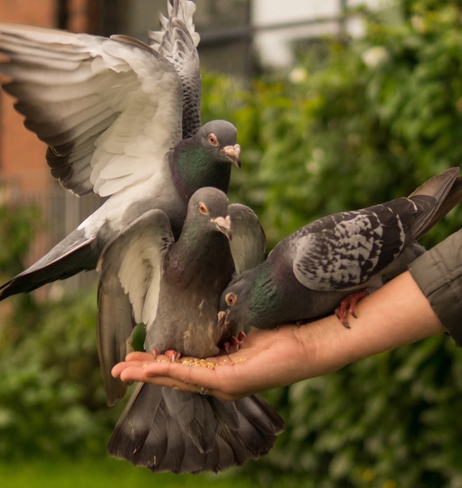Feeding pigeon birds.