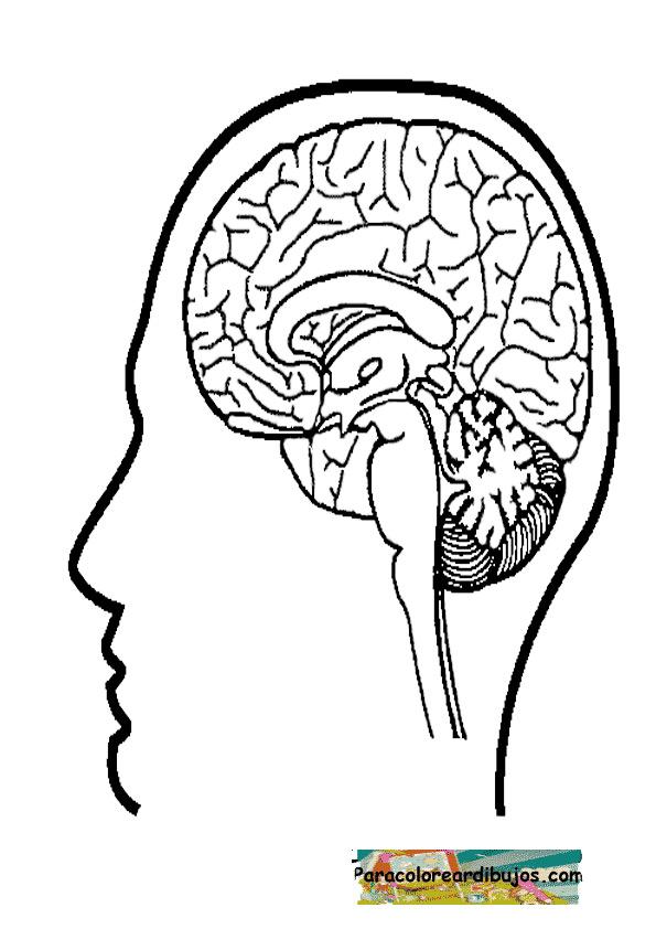Famoso Página Para Colorear De Cerebro Adorno - Dibujos Para ...