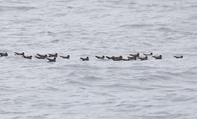 A raft of Black Storm-Petrels