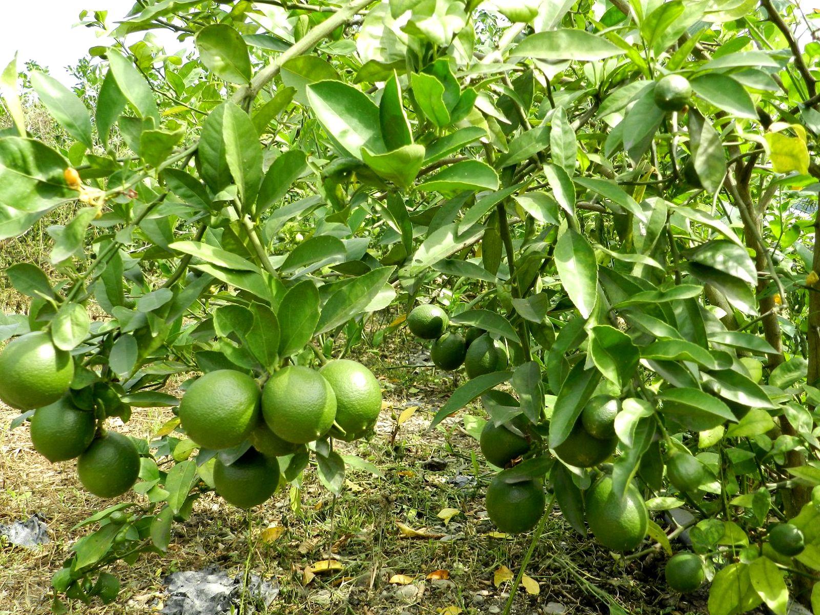 終點 新的起點: Like go 來顆果 行口批發 屏東 高樹鄉 新鮮水果農特產 無仔檸檬 有仔四季檸檬 上市訂購中!!