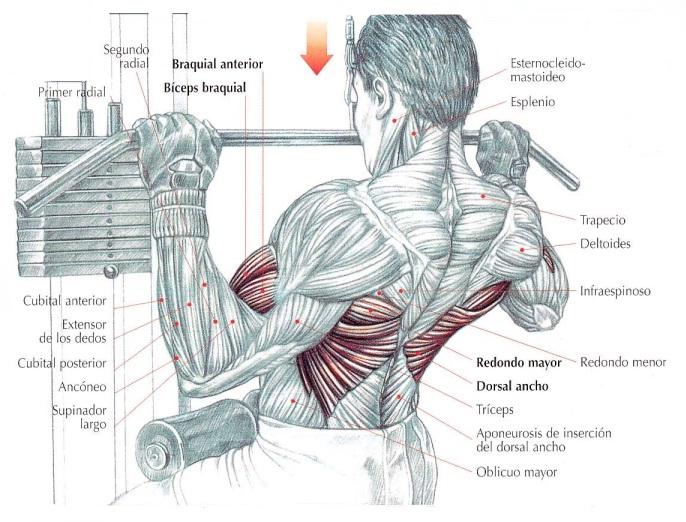 Jalón de polea al pecho, músculos implicados | Rane Forti