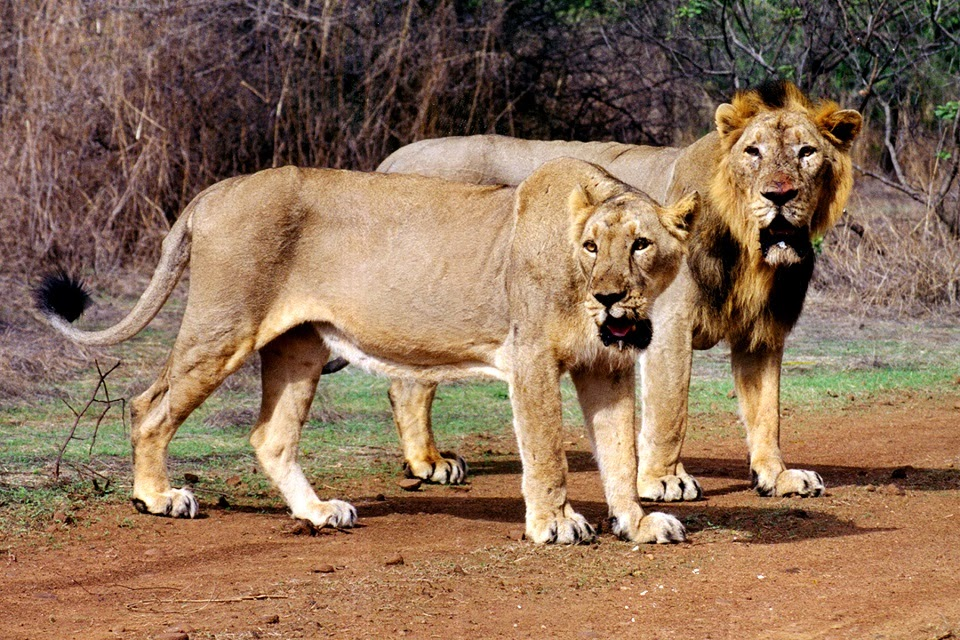 A Lion Couple at Gir National Park
