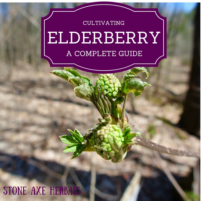 d62d215620c0 How to Cultivate Elderberry  A Complete Guide