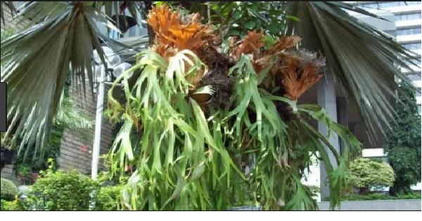 tanaman tanduk rusa