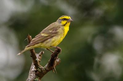 Daftar Harga Burung Mozambik Terbaru 2018