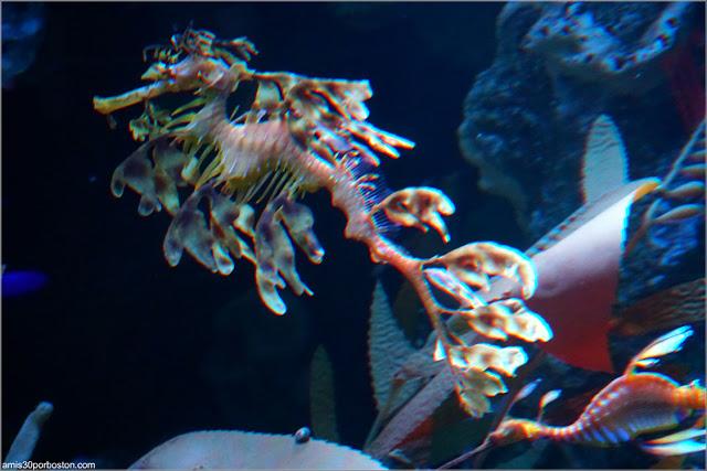 Dragón de Mar Foliáceo en el Acuario de Boston