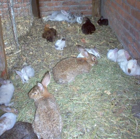 teknik dan  Waktu perkawinan kelinci lucu manis dan suka sekali di kandang makan jerami