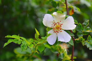 hoa hồng tầm xuân trắng