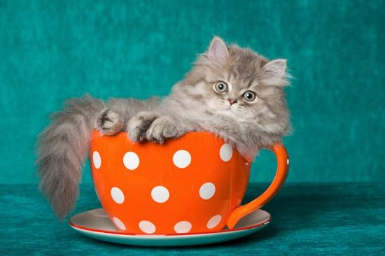 kucing teacup
