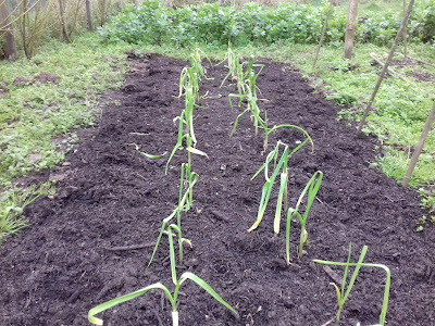 Winter Growing on the Allotment - Garlic