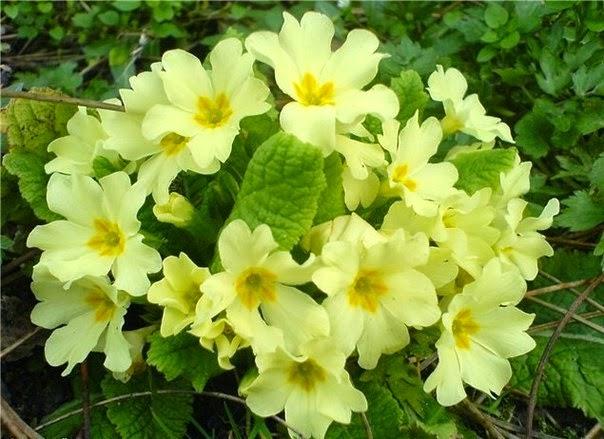 примула,комнатные цветы,домашние цветы,как подкормить примулу,Primula flowers,house plants,how to feed the primrose,Primel,Topfpflanzen,Blumen,wie düngen Primel,