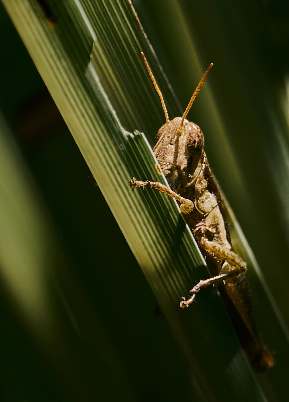 grasshopper,artistic,close-up,Philippines