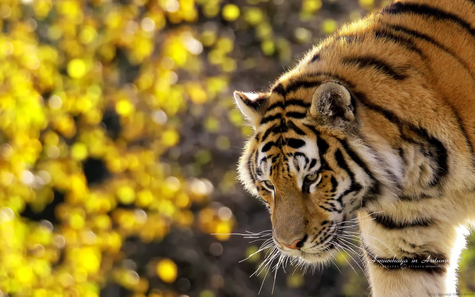 Cute Animated Wallpapers Hd Husn Ke Nazare Tigers Wallpapers