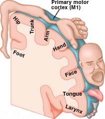 corteccia somatosensoriale