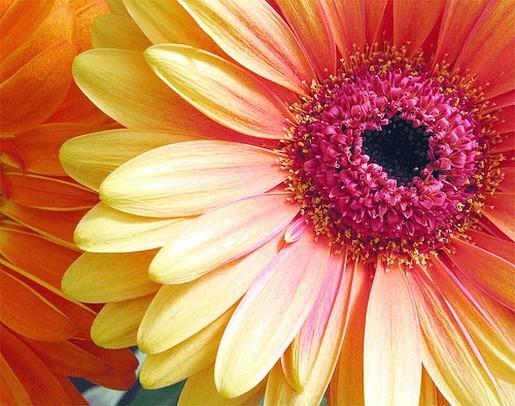 Beautiful wallpapers gerbera and daisy flower wallpaper - Gerber daisy wallpaper ...
