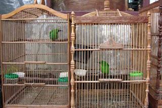 Penangkaran Burung Cucak Hijau - Menangkarkan Burung Cucak Hijau Denan Mudah