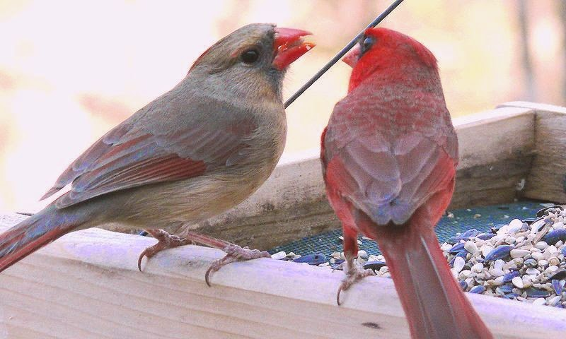 Fall Bird Feeder Wallpaper Wild Birds Unlimited Keep Cardinals Coming Year Round