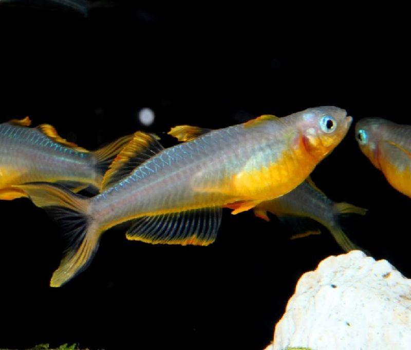 harga ikan rainbow irian