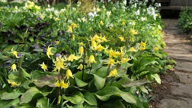 Erythronium: bulbos de otoño, flores de primavera