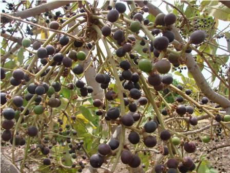 Image result for ஏப்ரல் பூல் மரம் நாடும் விழா