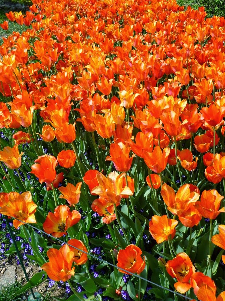 橙色郁金香河