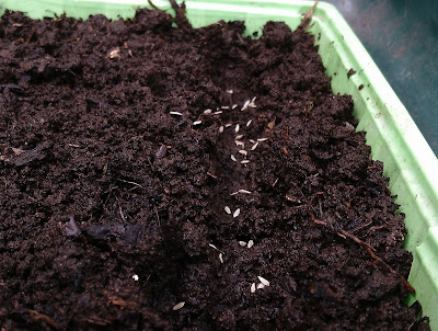 Sowing lettuce seeds in a tray Green Fingered Blog