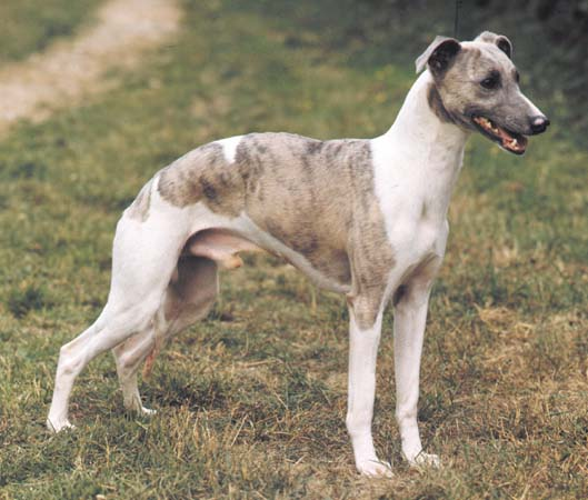 Dog Breed Directory Whippet Dog Breed