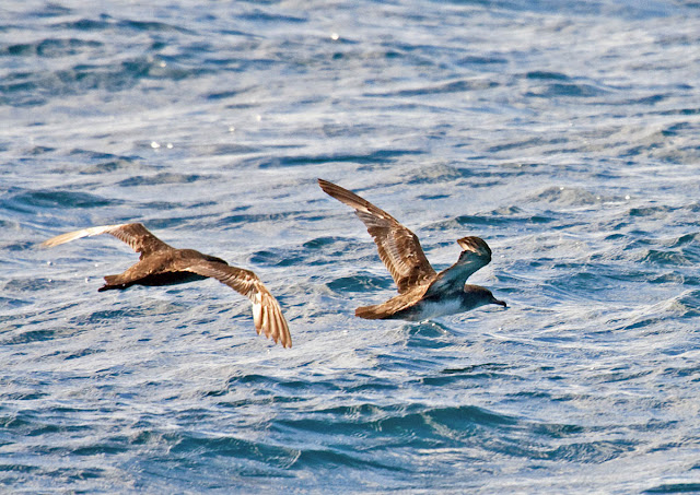 Sooty Shearwater and Pink-footed Shearwater
