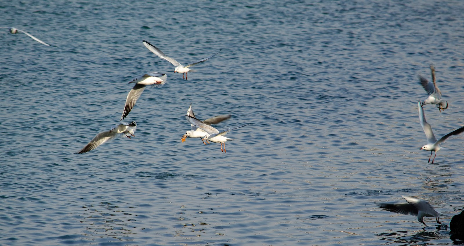 Seagulls fighting over a delicious lunch of fishes - Photo by Adham Al Oka