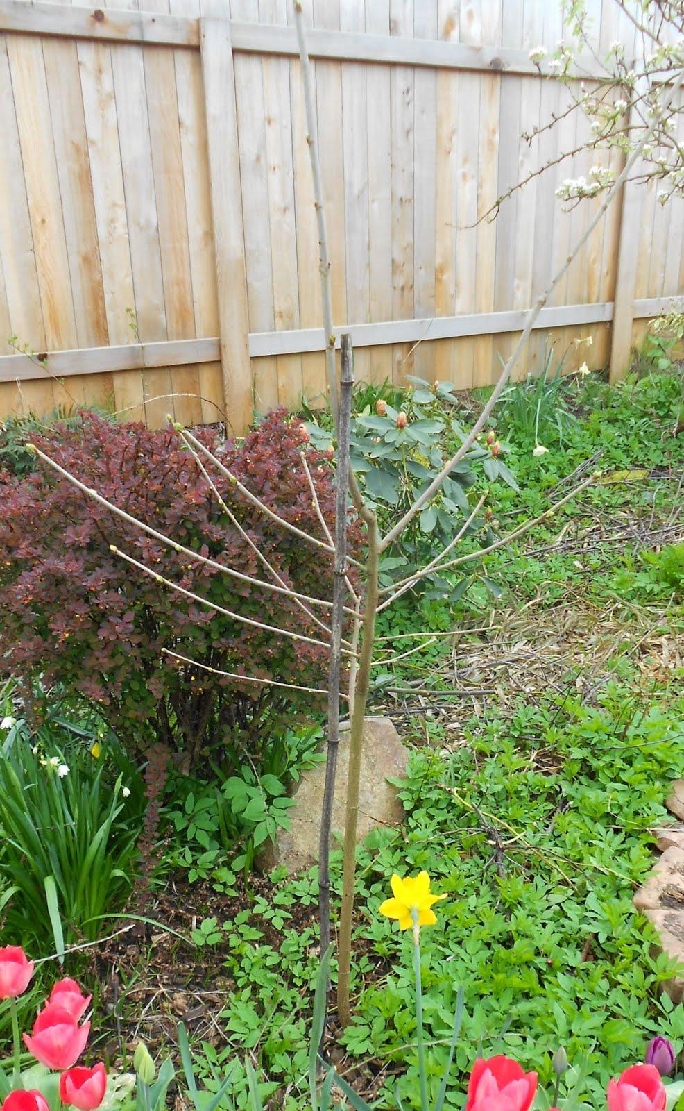 Daniel's Pacific NW Garden: More Fruit Trees. Backyard ...