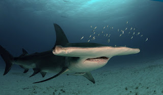 great hammerhead shark facts