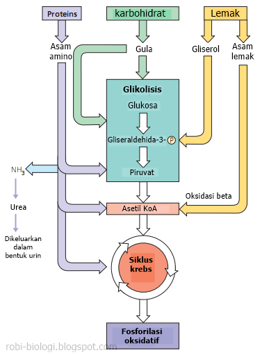Proses Katabolisme Karbohidrat : proses, katabolisme, karbohidrat, Keterkaitan, Katabolisme, Karbohidrat,, Protein,, Lemak, BELAJAR, BIOLOGI