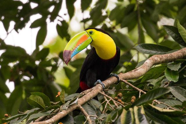 Tucán pico iris en Costa Rica