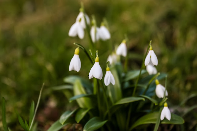 snowdrops in Jesmond Dene, Mandy Charlton, Photographer, newcastle upon tyne