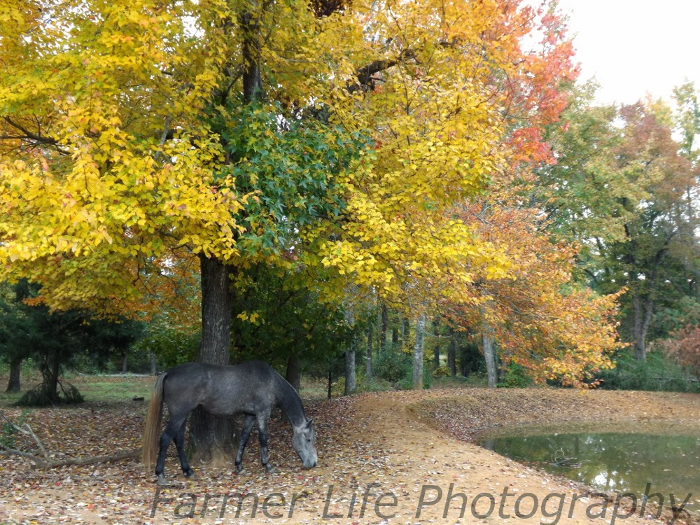 Equestrian Journey Chrome Is Eating Poisonous Red Maple