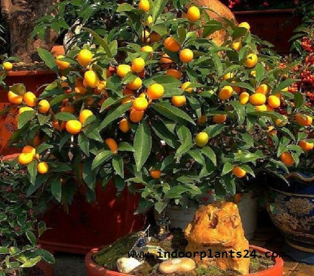 ClTROFORTUNELLA X MICROCARPUS Rutaceae CALAMONDIN PLANT