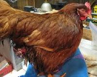 ayam petelur terkena prolapsus